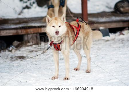 Sports red Husky dog. Working sled dogs of the North. Husky sledding in the winter. North active dog in the harnesses to drive in the snow.