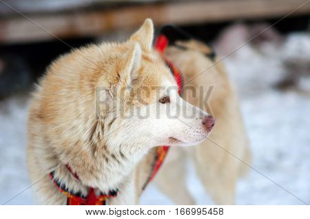 Sports Sled Husky dog. Working sled dogs of the North. Husky sledding in the winter. North active dog in the harnesses to drive in the snow.
