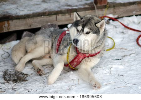 Silver Sled Husky resting, working dog of the North. Dogs sledding in the winter in the harnesses to drive in the snow.