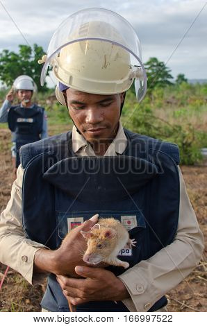 Siem Reap Cambodia - 24 June 2016: A Cambodian member of the mine clearance team and his Gambian pouched rat who is trained to sniff out explosives