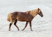 A Wild pony horse of Assateague Island Maryland USA on the beach. These animals are also known as Assateague Horse or Chincoteague Ponies. They are a breed of feral ponies that live in the wild on an island off the coast of Maryland and Virginia. It is un poster