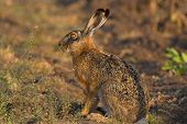 Picture of a hare sitting in a field- the photo was taken in the early morning. poster