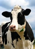 cow with blue sky at background looing to camera - shallow dof poster