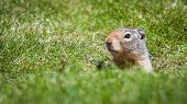 An inquisitive ground squirrel at the entrance to his burrow on a grassy bank on a sunny day. poster