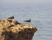 Pair of sooty sea gulls perched on rocks at the coast with sea background poster