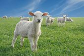 cute little lambs on fresh green meadow poster