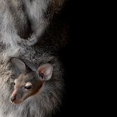 little cute wallaby joey in mummies pouch poster