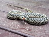 photo of a common garter snake on a pollen covered deck in a strike pose poster
