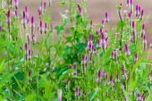Pink flower Obedient Plant alike or better known as Physostegia Virginiana for blur background poster