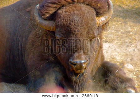 Bison Laying Down