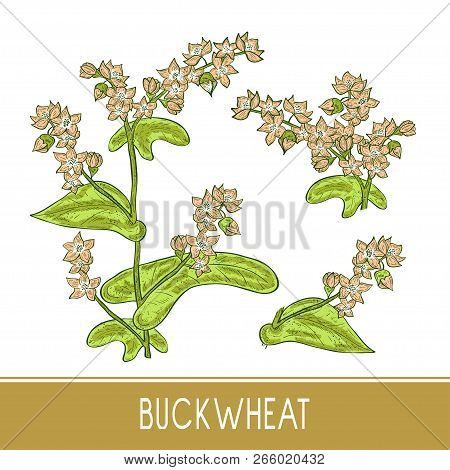 Buckwheat. Plant. Sketch. On A White Background. Set. Color