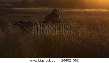 Silhouette Of A Zebra In Long Grass At Sunset With Rim Lighting