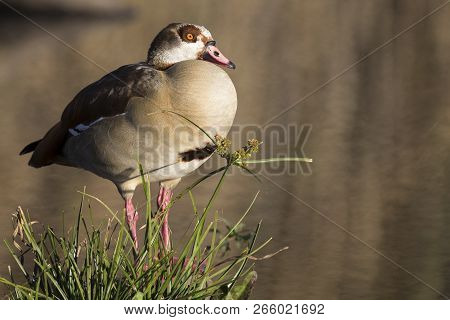 Egyptian Goose Sitting On Green Grass At The Edge Of A Pond