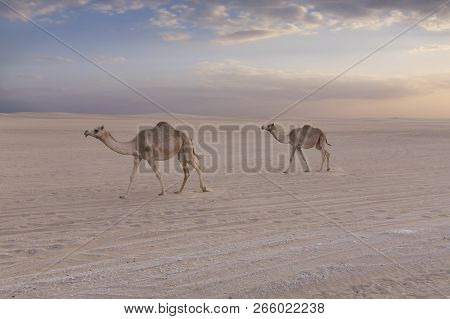 Two Camels Walking Along A Road At Sunset In The Desert