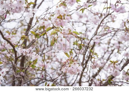 Blooming Cherry Tree In The Spring With White Flowers And A Romantic Violet Tone