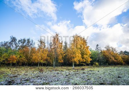Yellow Birch Trees In Autumn Colors In The Fall Under A Blue Sky In Bright Daylight