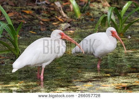 Two White Ibis Standing In A Swamp Pond.