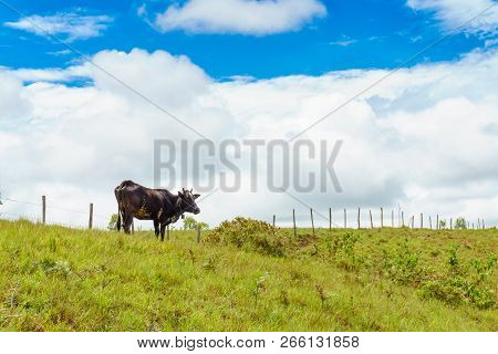 A Cow On The Hillside. Laos. The Province Of Xieng Khouang.