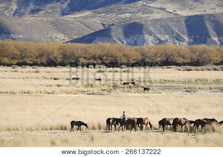 Gaucho With Livestock - Patagonia - Argentina