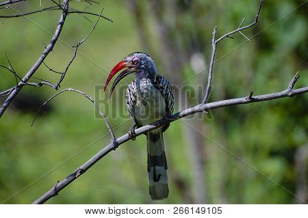Red Billed Hornbill - Chobe National Park - Botswana