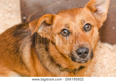 Red Dog Look To The Camera. The Look Of A Red Dog. Pretty Dog. Red Puppy