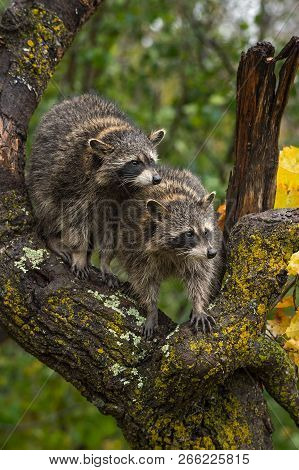 Raccoons (procyon Lotor) Look Right From Crook Of Tree - Captive Animals