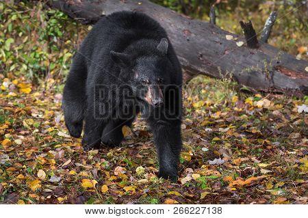 Black Bear (ursus Americanus) Trots Forward From Log - Captive Animal