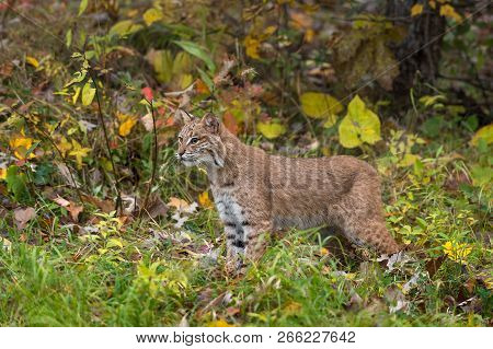 Bobcat (lynx Rufus) Stands In Autumn Grasses - Captive Animal