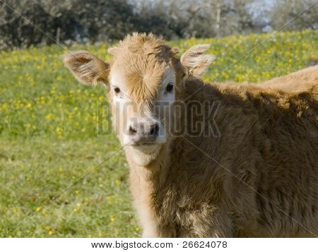 head of young cow