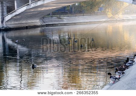 Morning City Park. Ducks Swim In The Pond Of The City Park. Autumn Park. Peace And Quiet In The Morn