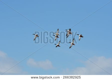 Flock Of Northern Shoveler Ducks Flying In A Blue Sky With White Clouds