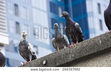 Focus Of Pigeons Cling On Cement Floor In Town With City Background (columba Livia Domestica), Pigeo