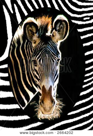 Head shot of African Grevy's Zebra at Utah's Hogle Zoo with zebra-stripe mat. poster