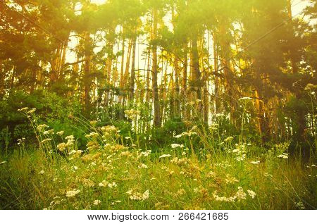 A Glade With Flowers In Pine Forest