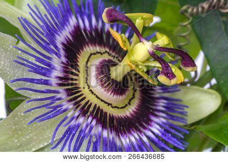 Passiflora Passionflower Close Up. Big Beautiful Flower