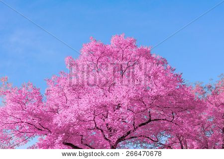 Close-up Of A Beautiful Pink Tree In Front Of A Blue Clear Sky On A Sunny Day. View To A Amazing Pur