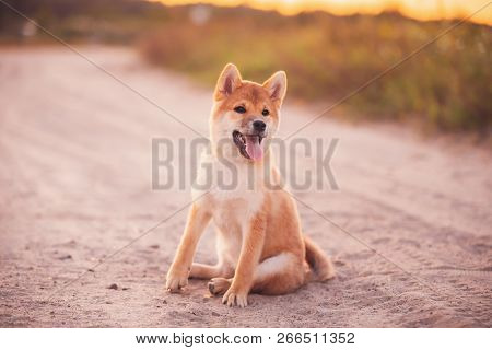 Beautiful Young Red Shiba Inu Puppy Dog Sitting Outdoor In Sandy Countryside Road.