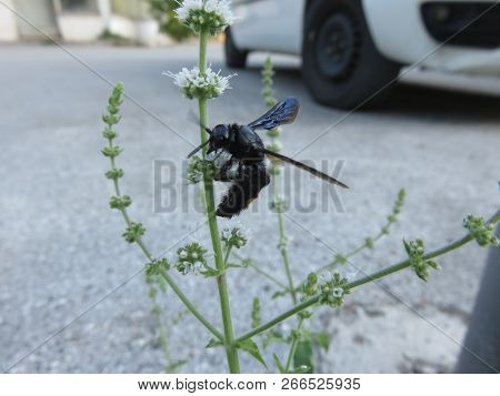 Scolia Hirta, Is A Black Wasp With A Showy Particularity On The Two To Four Yellow Spots