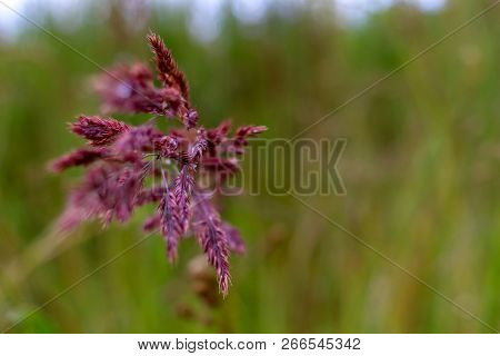 Bent On A Green Grass. Closeup Of Red Bent. Wild Grass. Nature Meadow. Background Of Bent On Field.