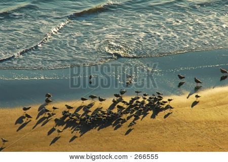 seagulls gathering at sunrise on beach poster