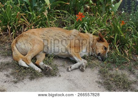Big Brown Dog Lying In The Sand By The Green Grass