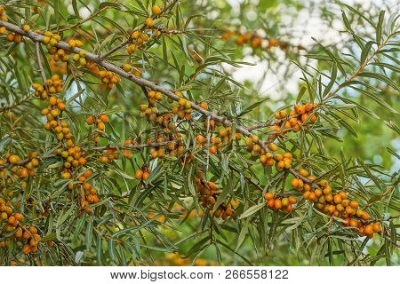 Sea Buckthorn Branch With Green Leaves And Small Orange Berries