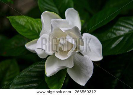 Gardenia Flower Opening In A Cool Garden