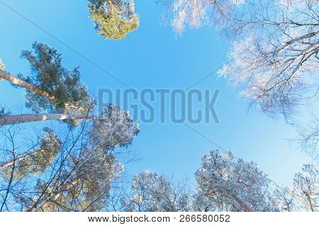 Snow-covered Tree Branches Against The Blue Sky. Winter Christmas Forest.