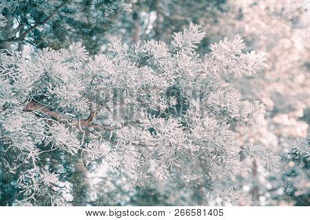 Pine Branch In Frost. Winter Christmas Forest.