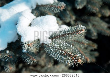 Snow-covered Branch Of Blue Spruce. Winter Forest At Christmas.