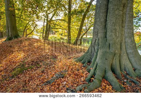 Old Beech Tree With Firm Roots Stands In The Foreground Between The Brown Tree Leaves Fallen On The