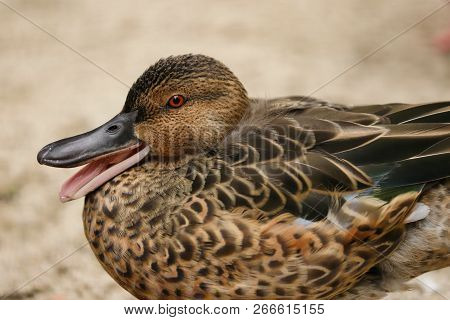 Portrait Of Of Female Cinnamon Teal Duck. Photography Of Nature And Wildlife.