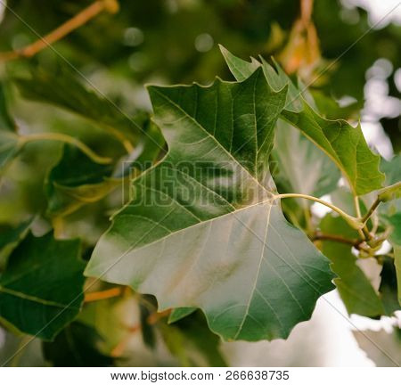 Green Leaves Texture. Beautiful Green Leaves, Green Pattern Background, Green Leaves With Sun Ray.