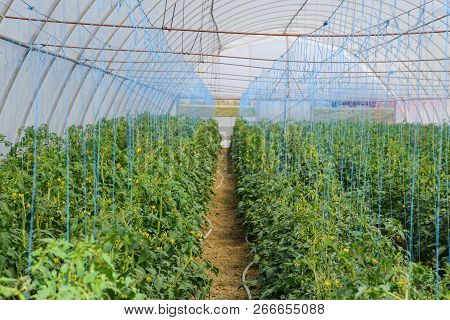Tomatoes In The Greenhouse. Tied Tomatoes In The Ranks Of The Greenhouse. Seedlings Of Tomato. Growi